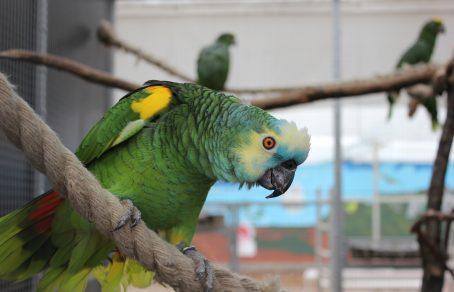 A. a. boliviana - Appie - LK (7)